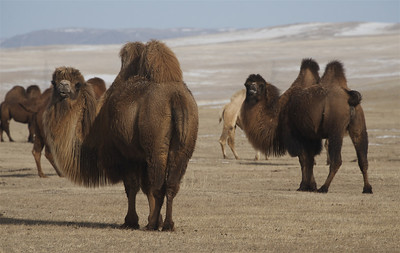 Bactrian Camel, Gun Galuut Nature Reserve.