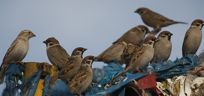 Eurasian Tree Sparrows hanging out on the Ovoo.