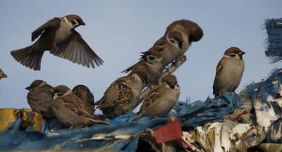 Euroasian Tree Sparrows.