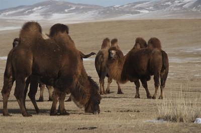 Bactrian Camels, Gun Galuut Nature Reserve.