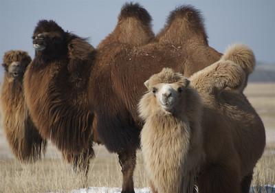 Bactrian Camels sporting thier winter wool coats in Gun Galuut.