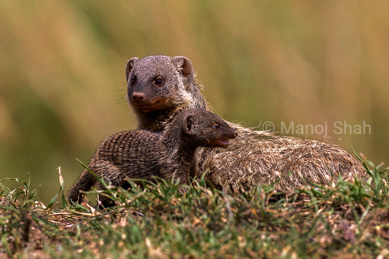Banded Mongoose with baby