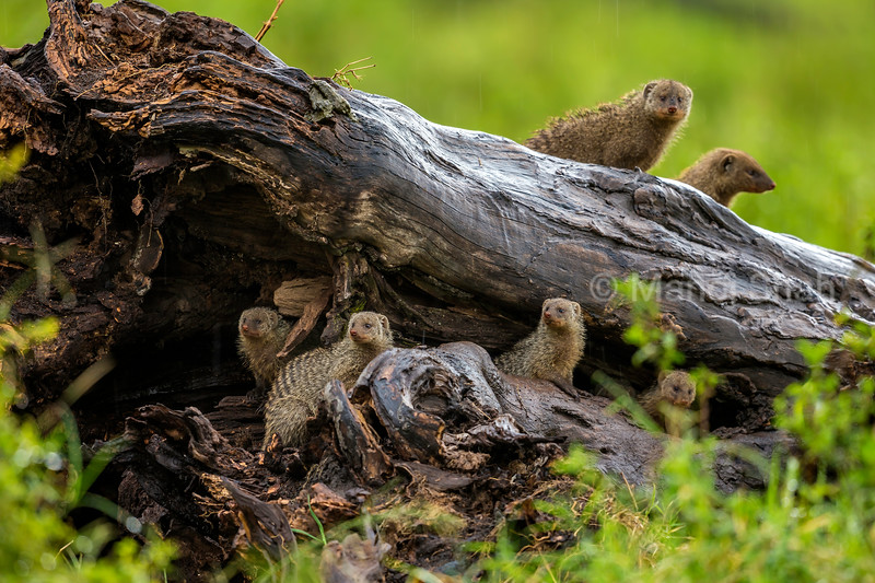 Banded Mongooses living in a fallen tree trunk in Masai Mara.