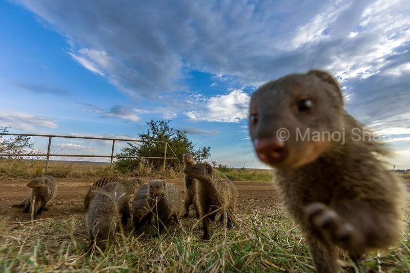 Banded Mongoose den at a culvert in Masai Mara