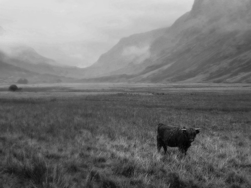 Highland Cow, Glencoe, Scotland