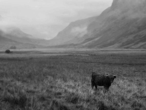 Highland Cow, Glencoe, Scotland
