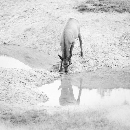 WAPITI REFLECTION