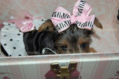2011 Sold Morkie Photos and Videos