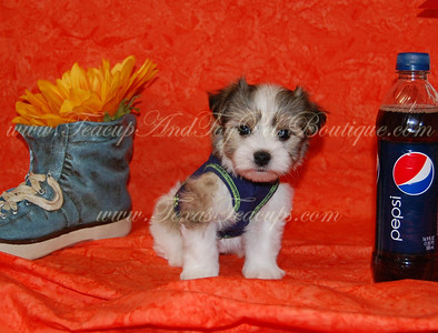 2012 Sold Morkie Photo and Videos