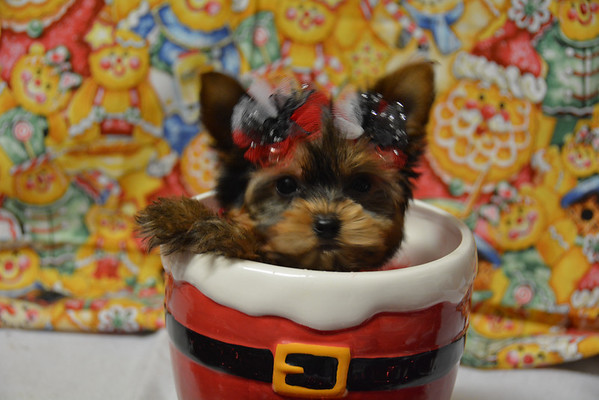 # PUPPIES FOR SALE or ADOPTION 2016