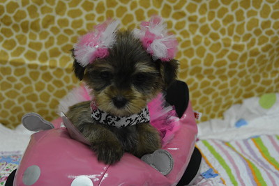 2017 MORKIE  PUPPIES FOR SALE