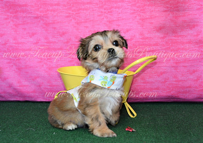 2018 SOLD Morkie Pets