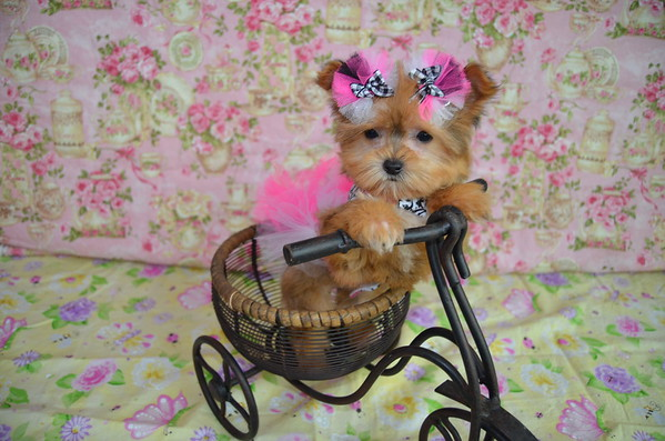 Female Morkie Puppy # 3072