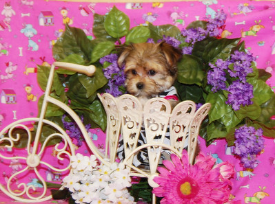 2009 MORKIE  Adopted For $675.00 Or Less