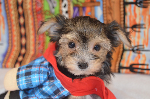 # Morkie Puppies For Sale