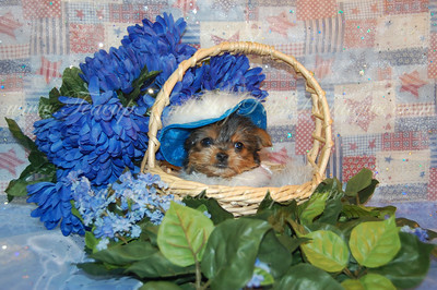 Morkie Puppies Sold At A Reduced Price