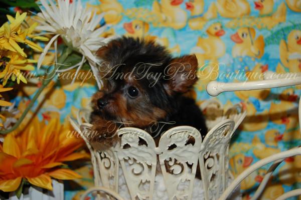 2012 Morkies Adopted