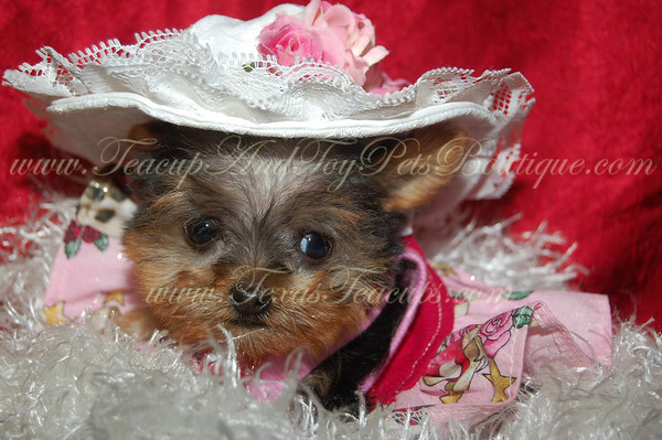 MORKIE PUPPY # 2311SOLD