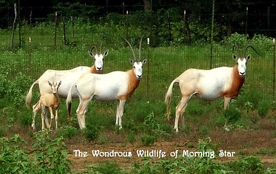 A Herd of Oryx