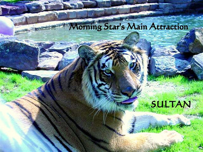 SULTAN - The True Star of Morning Star. Your Morning Star Vacation includes unlimited visits and photo opps with Sultan. Your time spent visiting with this fierce gentle creature will surely make your trip to Morning Star most unforgettable.