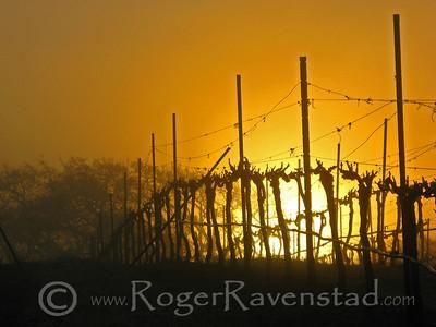 Rising Vineyard Image I.D. #:  V-08-005