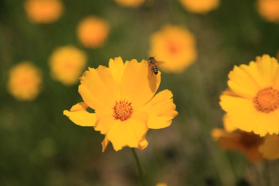 Arbuckle Wildflowers