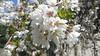 2020-05-14 Ava C - White Flowers