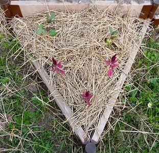 Jewish Star Amaranth. 20090705-Kavanah Garden-21