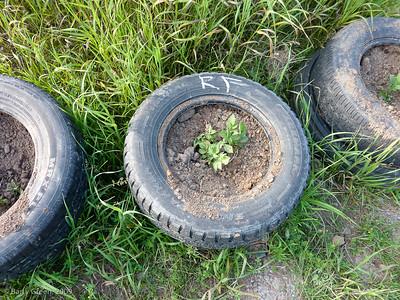 Potato Plants. 20090705-Kavanah Garden