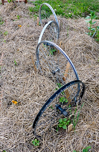 Bicycle Wheel Cucumbers. 20090705-Kavanah Garden-23