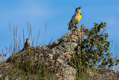 Western Meadowlark with Vesper (-) Sparrow singing backup - Montana-8637