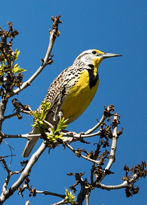 Western Meadowlark - North Dakota-8867