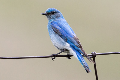 Mountain Bluebird - Montana-8433