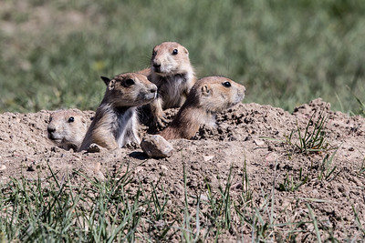 Black-tailed Prairie Dogs - Theodore Roosevelt National Park - ND-8838