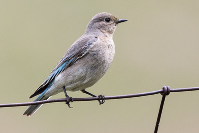 Mountain Bluebird - Female- Montana-8448