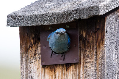 Mountain Bluebird - Montana-8465