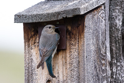 Mountain Bluebird - Female- Montana-8458