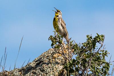 Western Meadowlark - Montana-8655