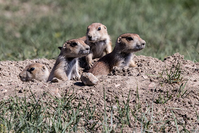 Black-tailed Prairie Dogs - Theodore Roosevelt National Park - ND-8841