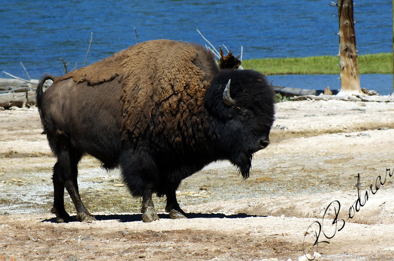 Photo By Bob Bodnar.............................Yellowstone Buffalo or some will call Bison