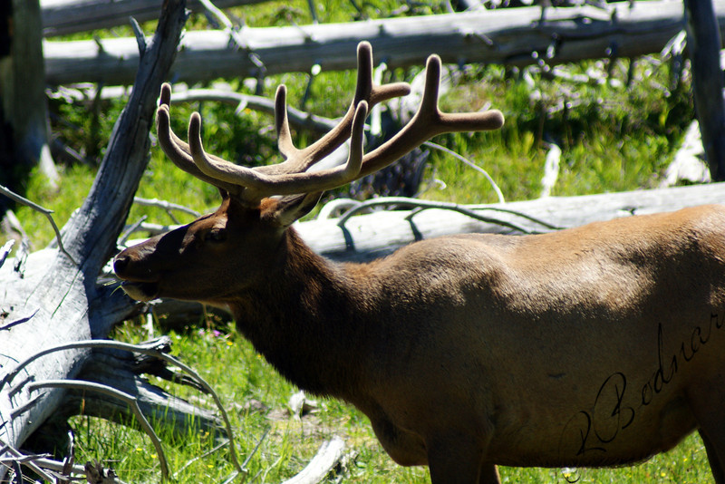 Photo By Bob Bodnar.........................................Elk, in Yellowstone National Park