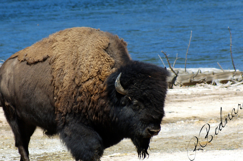 Photo By Bob Bodnar...........................................Yellowstone Buffalo or some will call Bison