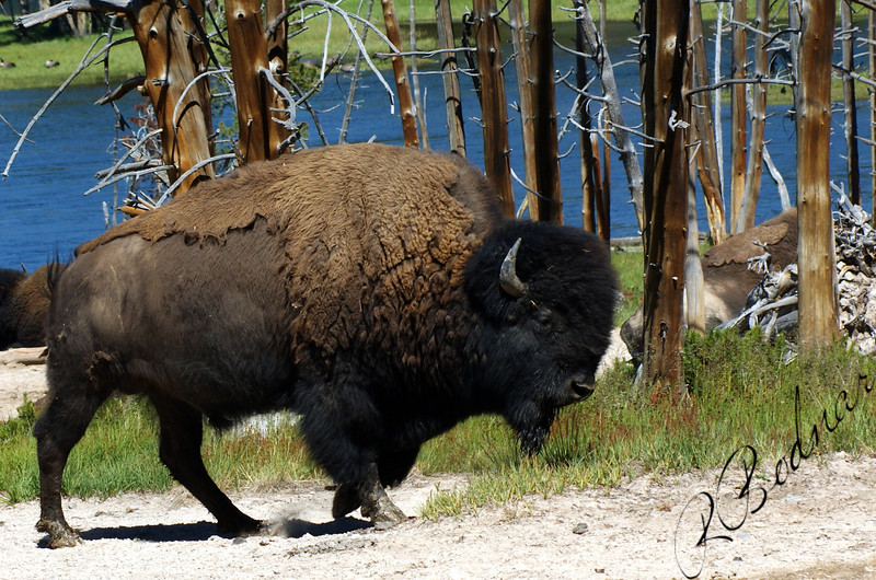 Photo By Bob Bodnar...................................Yellowstone Buffalo or some will call Bison