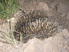 "Echidna feeding at night on Red Tail<br /> <a href=""http://cms.jcu.edu.au/discovernature/mammalscommon/JCUDEV_008104"">http://cms.jcu.edu.au/discovernature/mammalscommon/JCUDEV_008104</a>"