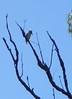 "Laughing Kookaburra<br /> <a href=""http://cms.jcu.edu.au/discovernature/birdscommon/JCUDEV_005203"">http://cms.jcu.edu.au/discovernature/birdscommon/JCUDEV_005203</a>"