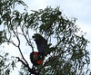 "Red Tail Black Cockatoo, the name given to one of the MTB Trails in Douglas<br /> <a href=""http://cms.jcu.edu.au/discovernature/birdscommon/JCUDEV_005189"">http://cms.jcu.edu.au/discovernature/birdscommon/JCUDEV_005189</a>"