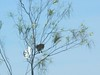 """Sulpher Crested Cockatoo<br /> <a href=""""http://cms.jcu.edu.au/discovernature/birdscommon/JCUDEV_005069"""">http://cms.jcu.edu.au/discovernature/birdscommon/JCUDEV_005069</a>"""