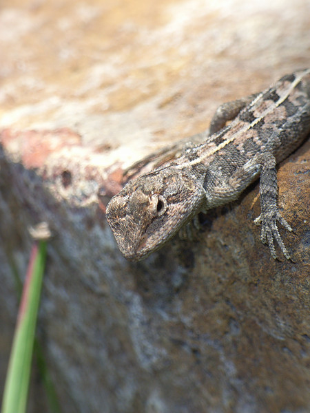 Two-lined dragon (Diporiphora australis), also known locally as a 'Nobby Nobby' or 'Tommy roundhead