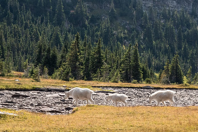 Glacier NP, Logan Pass, Hidden Lakes Trail  -- Mountain Goats