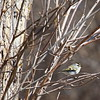 female golden-crowned kinglet